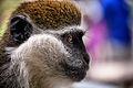 Grivet Monkey, Ethiopia (14385488750).jpg