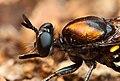 Gustavo Mazzarollo - robber fly side view (by).jpg