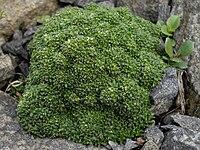 Gypsophila aretioides 3.jpg