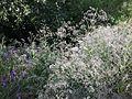 Gypsophila paniculata sl17.jpg