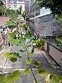 HK 上環 Sheung Wan 卜公花園 Blake Garden plants view 普義坊 Po Yee Street 百勝 廣福義 Kwong Fook I Tsz July 2017 Lnv2 04.jpg