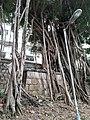 HK 半山區 Mid-levels 堅巷花園 Caine Lane Garden green leaves February 2020 SS2 05.jpg