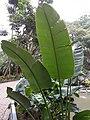 HK ML 半山區 Mid-levels 堅尼地道 Kennedy Road 香港公園 Hong Kong Park flora green leaves February 2020 SS2 06.jpg
