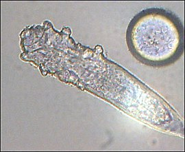 Demodex sp.