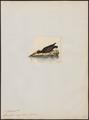 Haematopus niger - 1820-1860 - Print - Iconographia Zoologica - Special Collections University of Amsterdam - UBA01 IZ17300023.tif