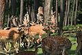 Haltern - Naturwildpark Granat - Dama dama dama 56 ies.jpg