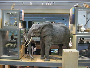 Great North Museum: Hancock - Elephant display.