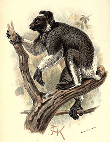 Handbook to the Primates Plate 12.jpg