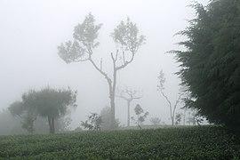 Haputale, Sri Lanka, Tea plantations in fog 3.jpg