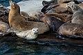 Harbor Seal (28948533510).jpg
