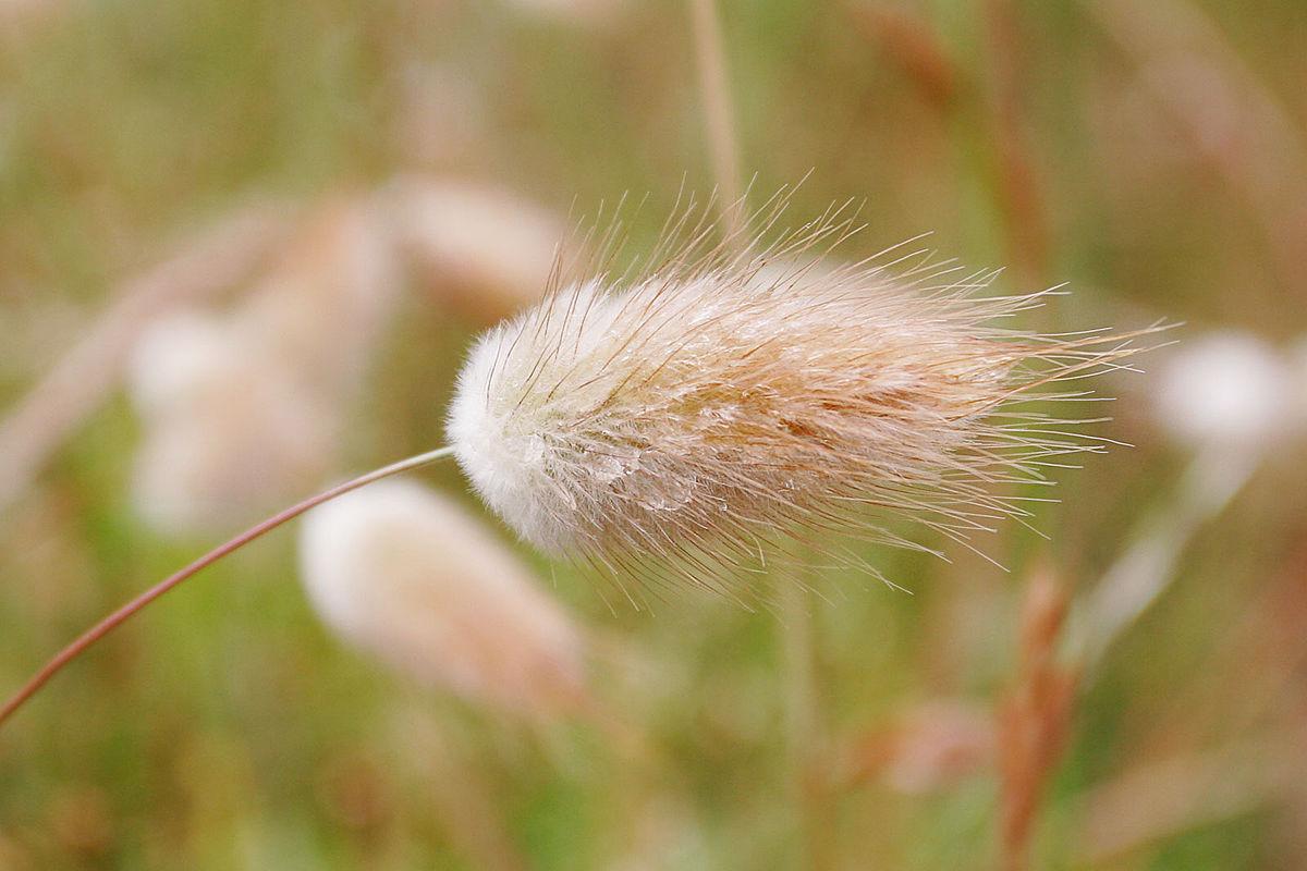 много растение заячий хвостик фото габаритам сходны