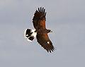 Harris Hawk 5c (6797991720).jpg