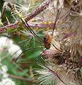 Harvestman.Opilones. Leiobunum rotundum. Female - Flickr - gailhampshire (1).jpg