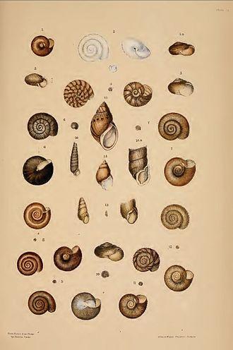 Helena Scott - Plate from James Charles Cox's Monograph of Australian Land Shells