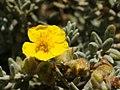 Helianthemum caput-felis (flower).jpg
