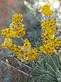 Helichrysum splendidum03.jpg