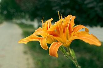 Daylily - The Orange Daylily (Hemerocallis fulva) in China