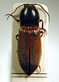 Hemicrepidius niger2.jpg