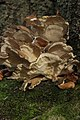 Hen of the Woods - Grifola frondosa (24664019178).jpg