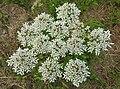 Heracleum sphondylium 3 RF.jpg