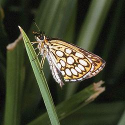 Heteropterus.morpheus.2490.jpg