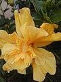 Hibiscus Rosa-Sinesis.jpg