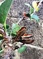 Hibiscus fragilis Mauritius seed pod.jpg