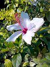 Hibiscus grandiflorus1.jpg