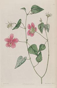 Hibiscus phoeniceus Bot. reg. 3. 230. 1817