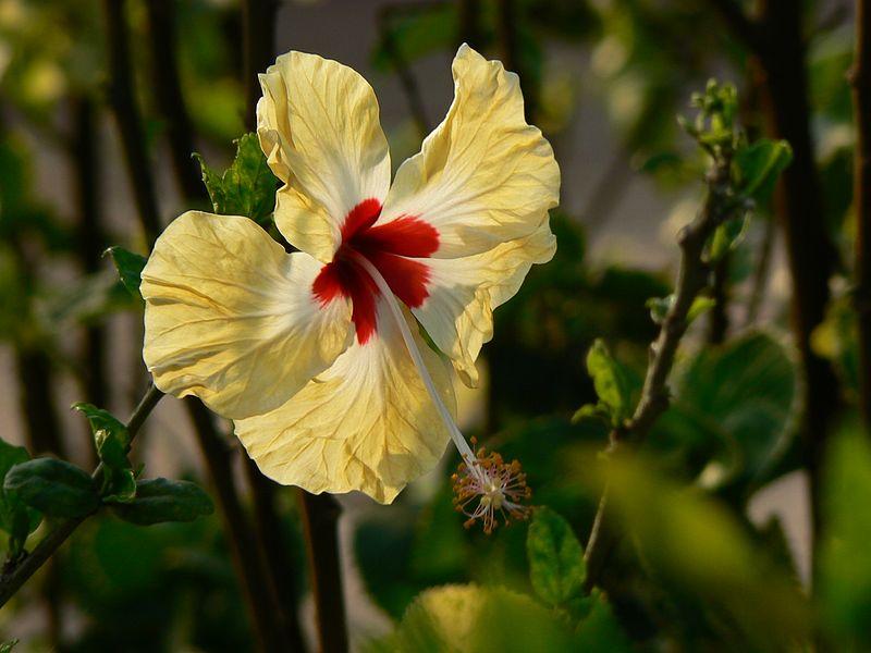 File:Hibiscus rosa-sinensis (460142533).jpg