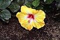 Hibiscus rosa-sinensis Jason 9zz.jpg