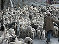 Himachal Pradesh sheep.jpg