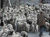 Himachal Pradesh sheep.jpg
