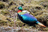 Himalayan Monal Adult Male East Sikkim Sikkim India 11.05.2014.png