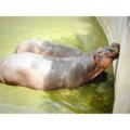 Hippopotamus.png
