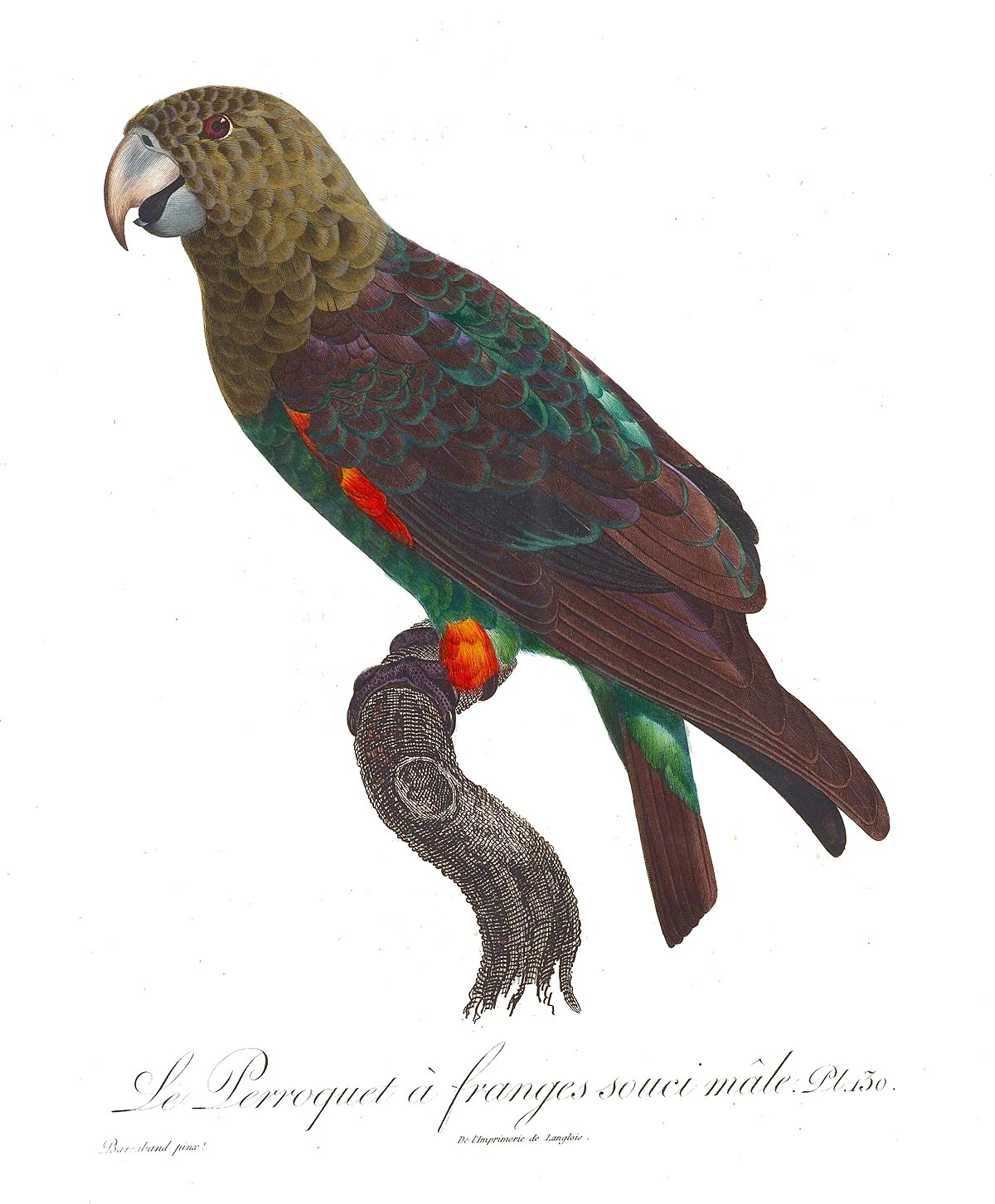 Beigehuvad papegoja wikipedia for Histoire des jardins wikipedia