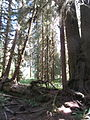 Hoh Rainforest - Olympic National Park - Washington State (9780114472).jpg
