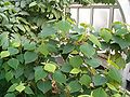 Homalanthus populifolius BotGardBln271207D.jpg
