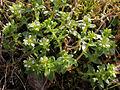 Honckenya peploides Simo, Finland 21.06.2013.jpg