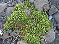 Honckenya peploides upernavik kujalleq 2007-07-24 3.jpg