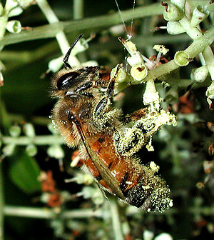 Pollinator - Honey bee with pollen adhering: Bees are the most effective insect pollinators.