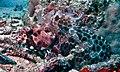 Honeycomb Grouper (Epinephelus merra) (8511124000).jpg