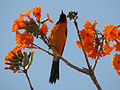 Hooded Oriole (16630518195).jpg