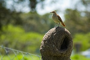 Fauna of Uruguay - Image: Horneroynido