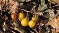Horse nettle berries.jpg