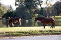 Horses (1986117785).jpg