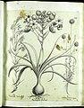 Hortus Eystettensis, Vorzeichnungen (MS 2370 2952583) -Verna,5,12.jpg