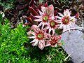 House Leek flower (8727530780).jpg