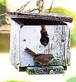 House Wren (Troglodytes aedon) utilizing nesting box.jpg