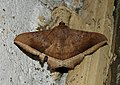 Hulodes caranea by Dr. Raju Kasambe DSCN0537 (6).jpg